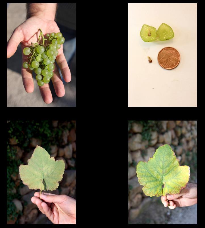 Detalles uva